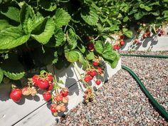20 riktigt bra tips kring odling av jordgubbar. Så lyckas du garanterat med jordgubbar!