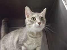 Malibu is an adoptable Domestic Short Hair-Gray Cat in Shelbyville, IN. Malibu, named by Vet Tech Students, is a one-and-a-half year old domestic shorthair stray that was brought into the shelter back...