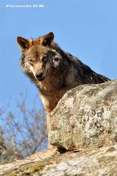 Lobo ibérico - Canis lupus signatus.