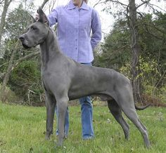 Adult blue Great Dane