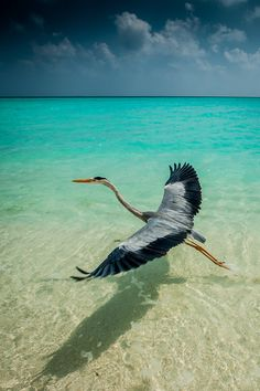 Velassaru Heron, Maldives (photo by Mats Carduner) Pretty Birds, Love Birds, Beautiful Birds, Animals Beautiful, Cute Animals, Tier Fotos, Blue Heron, All Gods Creatures, Big Bird