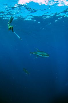 The hunt is on......tag a buddy who you would take spearfishing with. #reellife #letsgetreel #spearfishing #speargun #dive #tuna #yellowfin   (Photo Credit: Unknown)