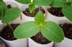 6 ok, amiért az uborka gyenge termést hozhat. A hiba, amit sokan elkövetnek! Home And Garden, Plants, Garden, Summer House Garden, Seedlings, Plant Leaves, Flowers, Nature
