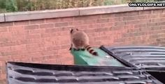 This raccoon who doesn't even care that he can't jump to this wall... He's just not even trying. | 21 Animals Who Aren't Even Trying At All