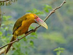 "Araçari-banana "" Pteroglossus bailloni ""  - Saffron..."