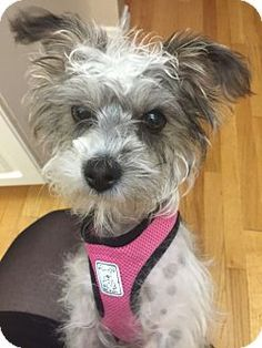 Pin by ashv on adoptable animals | Schnauzer, Dogs, Pet Adoption