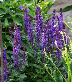 Woodland Sage 'New Dimension Blue' (Salvia nemorosa)
