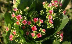 Így gondozd a korallvirágot!    Az egyik legnépszerűbb virág, amely nem csak a lakásban vagy az irodában, hanem az erkélyre kiültetve is különleges dísz lehet, ráadásul a gondozása sem annyira bonyolult. Most összeszedtük a legfontosabb tudnivalókat erről a csodás virágról.  Olvass tovább: http://www.tarka-hirek.hu/kiskert/igy-gondozd-a-korallviragot-/