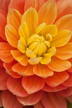 "Olivia Mari Dahlia (4-6""; 4.5' bush): waterlily; yellow and orange blends."