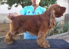 Cocker Spaniel Ingles http://www.mascotadomestica.com/razas-perros/cocker-spaniel-ingles.html