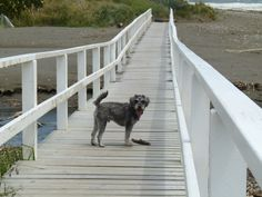 The boy Otto at the beach (Otto the schnoodle)