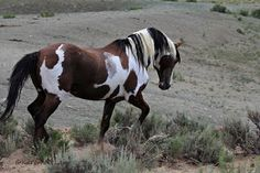 Picasso: Wild Stallion of the Sand Wash Basin Mustang Herd, CO.  Love this horse.