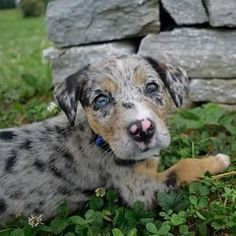Catahoula leopard dog, also known as Catahoula leopard cur, is an American dog breed named as the state dog of Louisiana Catahoula Cur, Dog Breed Names, Dog Crossbreeds, American Dog, Leopard Dog, Herding Dogs, Different Dogs, Oragami, Large Dog Breeds
