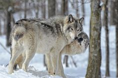 Wolves   11 animals that mate for life   MNN - Mother Nature Network