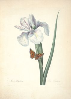 gravures de fleurs par Redoute - Gravures de fleurs par Redoute 044 iris xiphium…