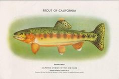 State Fish: The golden trout (Salmo agua-bonita) is native only to California and was named the official state fish by act of the State Legislature in 1947. Originally the species was found only in a few streams in the icy headwaters of the Kern River, south of Mount Whitney, the highest peak in the United States outside of Alaska. Stocking of wild and hatchery-reared fish has extended its range to many waters at high elevation in the Sierra Nevada from El Dorado and Alpine Counties…