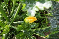 So gut wachsen Zucchinis im Saisongarten, wenn man sie regelmäßig gießt Baby Led Weaning, Zucchini, Celery, Vegetables, Plants, Lawn And Garden, Vegetable Recipes, Plant, Veggies