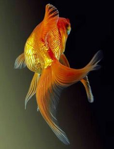Jennifer Guppy, Fantail Goldfish, Goldfish Pond, Freshwater Aquarium, Aquarium Fish, Coral Aquarium, Colorful Fish, Tropical Fish, Animals And Pets