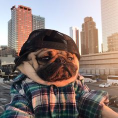 Doug The Pug (@itsdougthepug) | Twitter