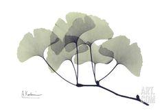Ginkgo Leaves in Green  Albert Koetsier