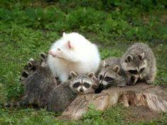 Albino raccoon pretty rare