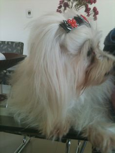 Xuani do canil brazilian lovely dogs