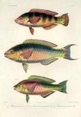 SCAROIDEI - Pseudoscarus pentazona, cyanognathus, javanicus - PARROTFISH print Rare Fish, Oriental, Fish Print, Pacific Ocean, Portrait, Prints For Sale, Antiques, Antiquities, Antique