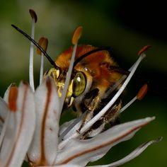 bee closeup Ikaria Greece