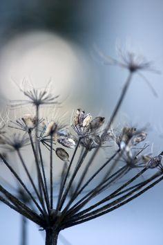 Winter flower_Talventörröttäjä.... by Aili Alaiso Finland