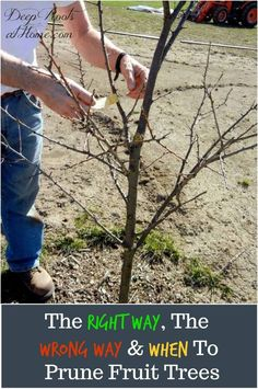 The Right and The Wrong Way & When To Prune Fruit Trees. My husband planting a young apple tree before pruning. Espalier Fruit Trees, Fruit Tree Garden, Planting Fruit Trees, Dwarf Fruit Trees, Growing Fruit Trees, Fruit Plants, Garden Trees, Growing Tree, Trees To Plant