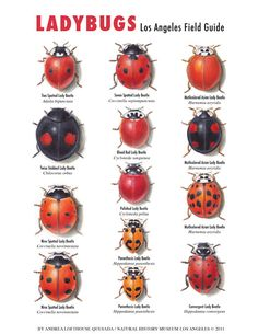 Lady bugs need special care to control aphids in the garden Animals And Pets, Cute Animals, Praying Mantis, Beautiful Bugs, Insect Art, Humming Bird Feeders, Bugs And Insects, Creatures, Plants