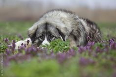 Romanian Carpathian Shepherd Dog. This is my future dog!! Do cute!!!