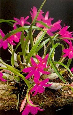Sophronitella violacea Pridgeon (Ed.) (1968) Orchids; Reprint: Cooper