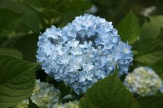 These Hydrangas are the perfect color for a blue touch Blue Wedding, Floral Wedding, Wedding Flowers, Life Is Beautiful, Beautiful Gardens, Winter Springs, Black And White Pictures, Loudoun County, Hydrangea Garden