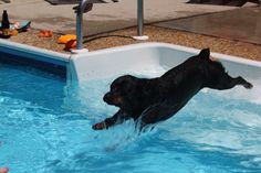 Rotti in the pool