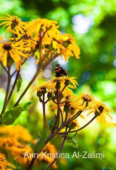Ann-Kristina Al-Zalimi, autumn, august, elokuu, butterfly, perhonen, kukka, flower, flora, amiraaliperhonen, admiral, vanessa atalanta, fine art photography, syksy