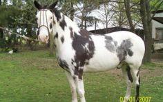 Overo | vendo caballo overo | Compra - Venta | Buenos Aires | Compra - Venta