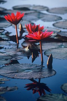 Reflection of lilies in Angkor Wat pond, Cambodia by .Anton, via Flickr
