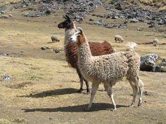 Llama, National Animal Of Bolivia Alpacas, Unique Animals, Large Animals, Cute Animals, Crazy Animals, Exotic Animals, Wild Animals, Lama Animal, Peru