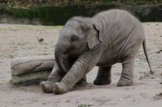 Awww... baby elephant does his morning stretches! <3