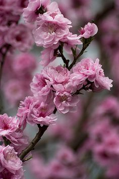 """PEACH BLOSSOM - """"I am your Captive"""" in the language of flowers"""