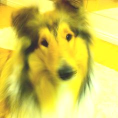 Our pet, Rough Collie, named Sulo Soonist Smiling King. Ihan paras koira ikinä!!