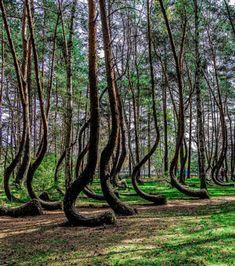 La Forêt Tordue, en Pologne, vous permettra de voir des arbres aux troncs à 90 degrés