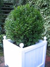 Topiary Ball in white planter box