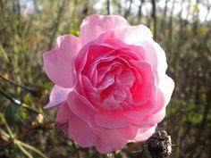 Rose in Regent's Park