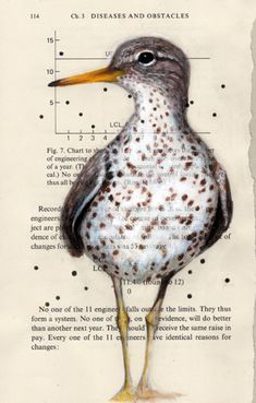 Spotted Sandpiper illustration on found paper