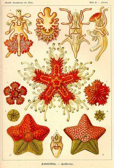Ernst Haeckel, asteridea