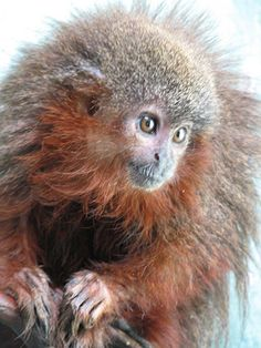 Bushy-Bearded Titi (or Caqueta Titi) is a Critically Endangered species native to Colombia. There may only be several hundred of this adorable monkey left in the wild.