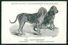 Saint-Hubert Bloodhound Dog Breed original 1900s old L'Acclimatation postcard