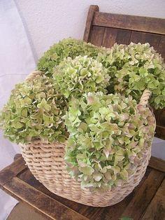 Soft green hydrangeas